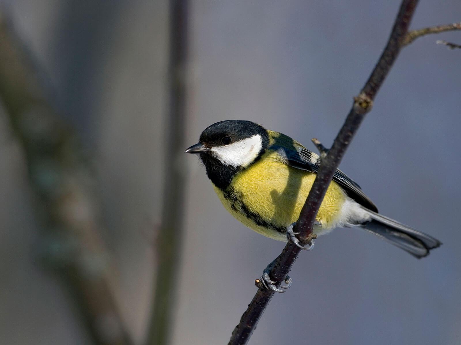 vanliga fåglar i sverige